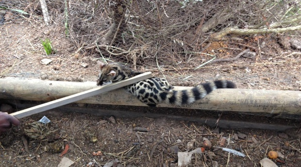 Cape Genet Cat caught 'red handed' in chicken enclosure at African Crags Eco-Lodge.